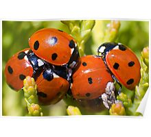 Ladybirds  Poster