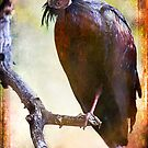 Northern Bald Ibis Portrait#2 by alan shapiro