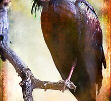 Northern Bald Ibis Portrait#2 by alan shapiro