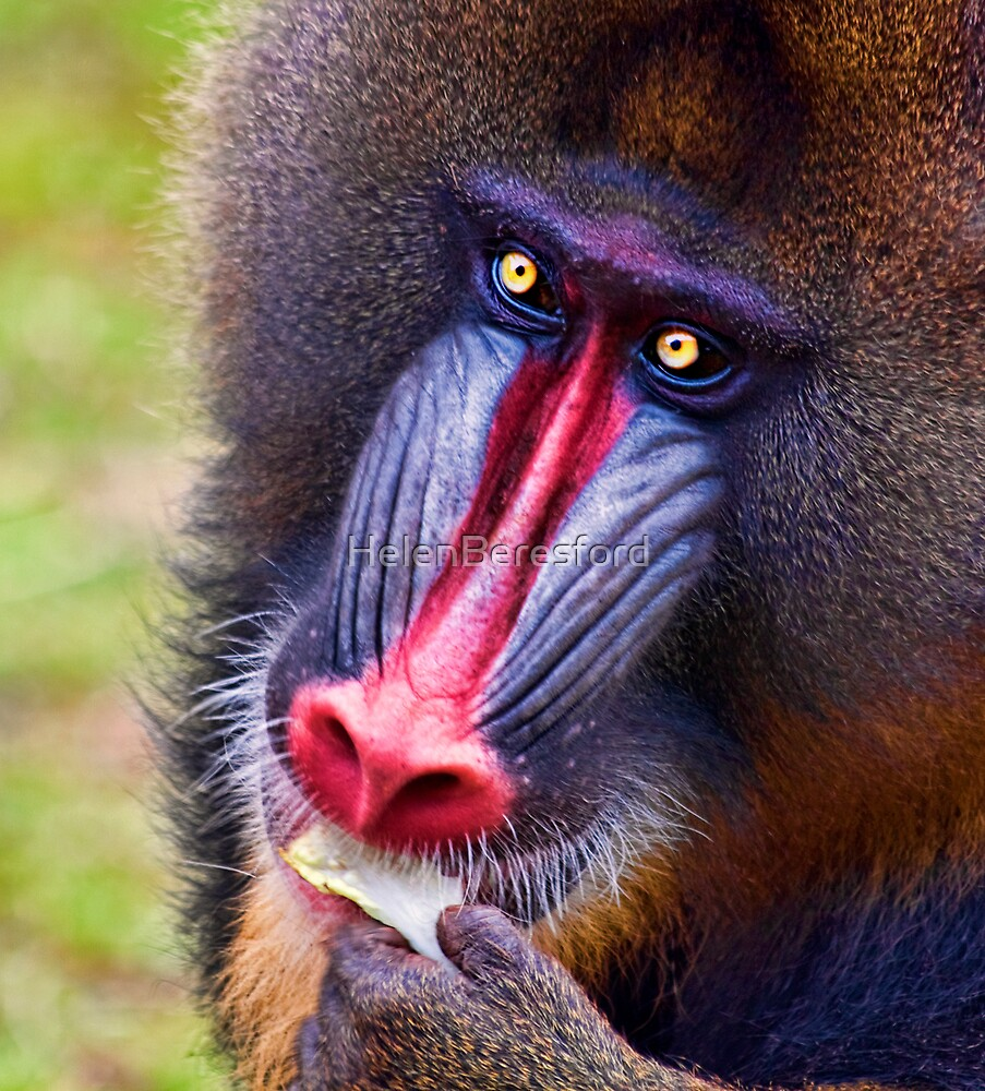 Mandrill by HelenBeresford