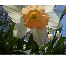 white and orange daff Photographic Print