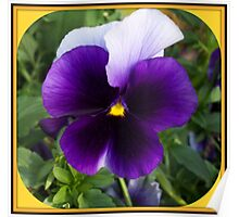 Amazing pansy  Poster