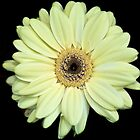 Pale yellow Gerbera by PhotosByHealy