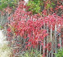 Virginia Creeper on Dune Fence - Fall Colors by MotherNature