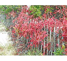 Virginia Creeper on Dune Fence - Fall Colors Photographic Print
