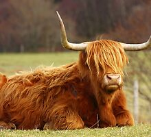 Highland Cow. by John Cameron