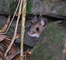 I am a mouse and live in a .......wall. by Paul Gibbons