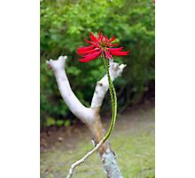 Red Flower in Kuranda, Australia Photographic Print
