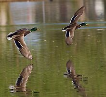 Mallard Drakes by Marvin Collins