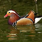 Mandarin Duck by Mark Hughes