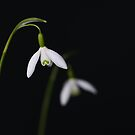 Snowdrops by Aase