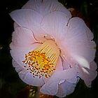camellia by Helenvandy