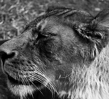 Lioness by Raymond Holt
