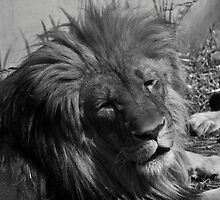 Lion by Raymond Holt