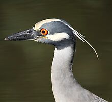Black Crowned Night Heron by Deborah  Benoit