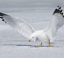 Ring-billed Gull curtain call. by Daniel Cadieux
