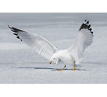 Ring-billed Gull curtain call. Photographic Print