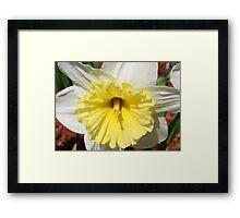 Daffodil in Bloom Framed Print