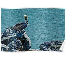Perching Brown Pelican Poster