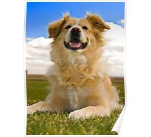 Golden retreiver laying down Poster