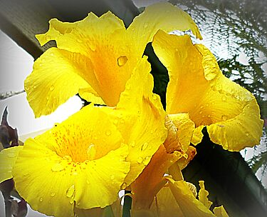 Yellow Canna - friend's Garden by EdsMum