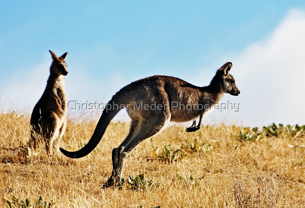 Two Kangaroos by Christopher Meder Photography