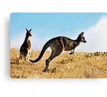 Two Kangaroos Canvas Print