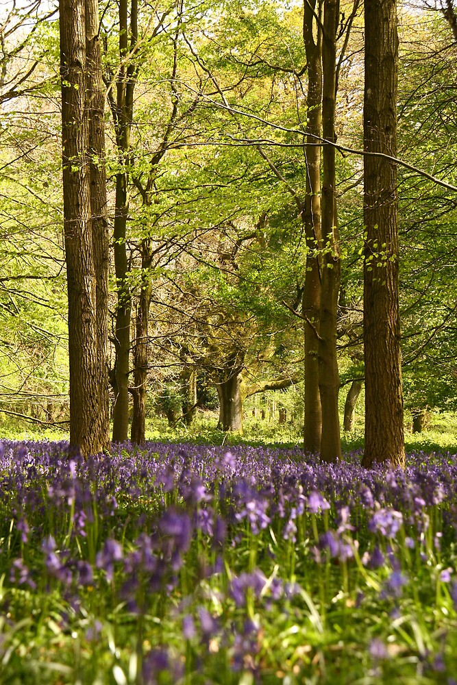 Bluebells and beeches by Jennifer Bradford