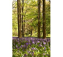 Bluebells and beeches Photographic Print