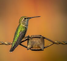 Hummingbird on a Barbed Wire 2 by Subwaysign