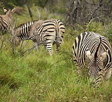 Burchell's Zebra - Madikwe, South Africa by Steph Ball