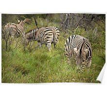 Burchell's Zebra - Madikwe, South Africa Poster