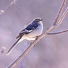 Northern Mockingbird by withacanon