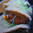 Clown Fish by venny