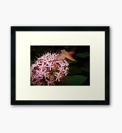 Hummingbird Moth in Clerodendrum Framed Print