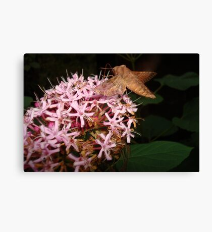 Hummingbird Moth in Clerodendrum Canvas Print