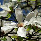 Magnolia stellata by TriciaDanby