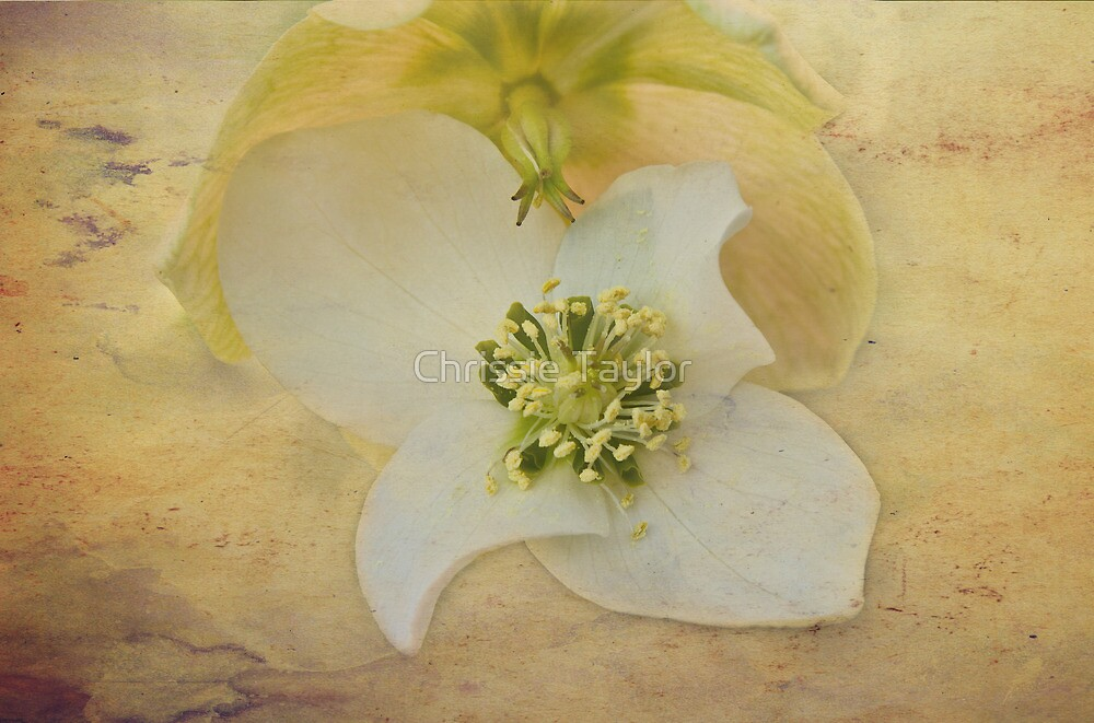 Helleborus Niger by Chrissie Taylor