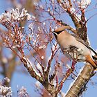 Waxwing in Snow by Nigel Tinlin
