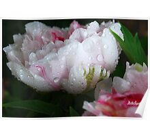 Peony after the Rain Poster