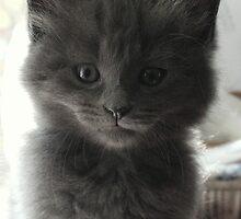 Sweet Grey Kitty by anitahiltz