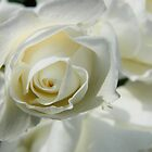White Rose by Carmel Abblitt