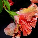 Flamenco dancing hibiscus by ♥⊱ B. Randi Bailey