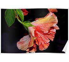 Flamenco dancing hibiscus Poster
