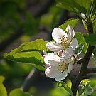 Apple Blossom by WatscapePhoto