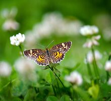 Northern Crescent Butterfly by Christina Rollo