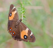 Swordgrass Brown Butterfly (Tisiphone abeona) by Rosie Appleton