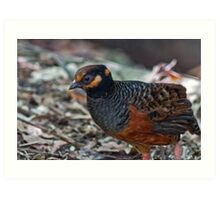 Chestnut Bellied Partridge Art Print