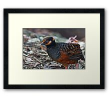 Chestnut Bellied Partridge Framed Print