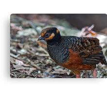 Chestnut Bellied Partridge Canvas Print